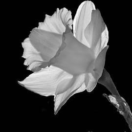 Inge Riis McDonald - Daffodil - 365-23
