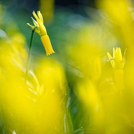 Sarah-fiona Helme - Daffodil Cheer