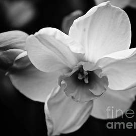 Debra Banks - Daffodil Dream