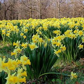 Rosanne Jordan - Daffodil Explosion of Color