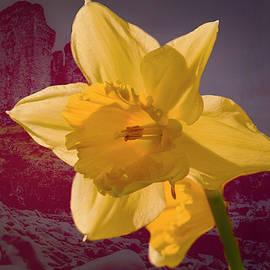 Leif Sohlman - Daffodil minnard #f9