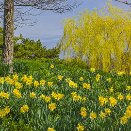 Robert Storost - Daffodils and Willow