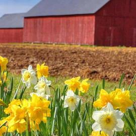 Marcel  J Goetz  Sr - Daffodils At The Barn