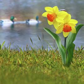 Nina Bradica - Daffodils