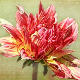 Teresa Zieba - Dahlia Blossom