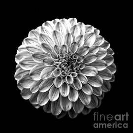 Dahlia  Flower Black and White Square - Edward Fielding