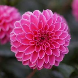 Carrie Goeringer - Dahlia Flowers