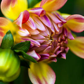KG  Photography - Dahlia in Pink and Yellow