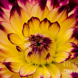 Nick  Boren - Dahlia Macro Photography
