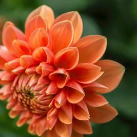 Arlene Carmel - Dahlia Petals