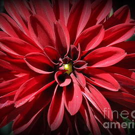 Photographic Art and Design by Dora Sofia Caputo - Dahlia Radiant in Red