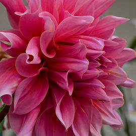 Debby Pueschel - Dahlia with a Spider Surprise