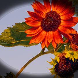 Tina M Wenger - Dainty Red Sunflower