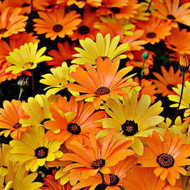 Glenn McCarthy Art and Photography - Daisies - Yellow and Orange