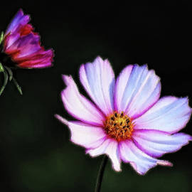 MTBobbins Photography - Daisy Delight - Cosmos - Brush Strokes