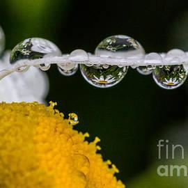 Darleen Stry - Daisy Reflections