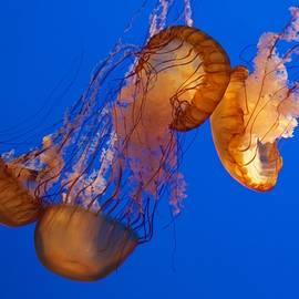 Venetia Featherstone-Witty - Dancing Sea Nettles