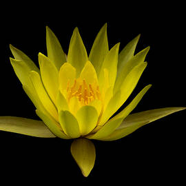 David Millenheft - Dancing Yellow Lotus