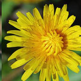Gregory DUBUS - Dandelion flower opening