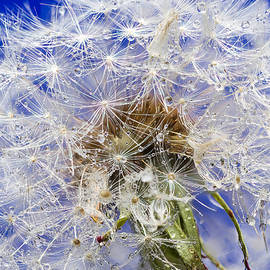 Steve Gadomski - Dandelion Seeds On Blue