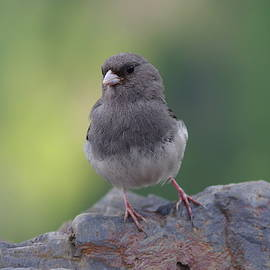 Aaron Rushin - Dark-Eyed Junco