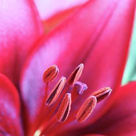 Jennie Marie Schell - Dark Pink Day Lily Flower Macro