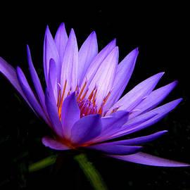 Rosalie Scanlon - Dark Side of the Purple Water Lily