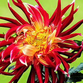 Lynn Bauer - Dawn of the Dinner Plate Dahlia