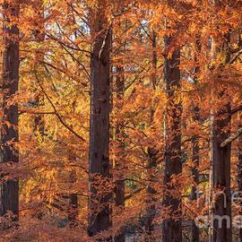 Chris Scroggins - Dawn Redwood Trees