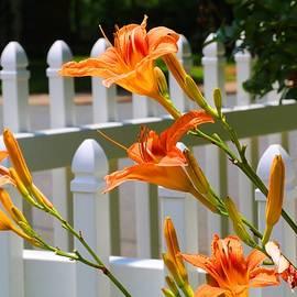 Kathryn Meyer - Daylilies on Picket Fence