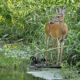 Nava  Thompson - Deer In Beautiful Stream