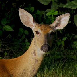 Craig Bohnert - Deer in the Morning