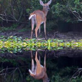 Marcel  J Goetz  Sr - Deer Reflection