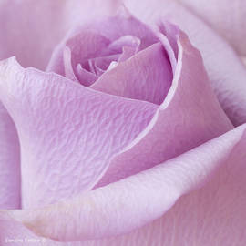 Delicate Lavender Rose Macro