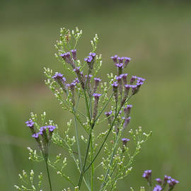 Kathy Clark - Delicate Lavender Verbena Wilflowers