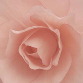 Patty Colabuono - Delicate Rose