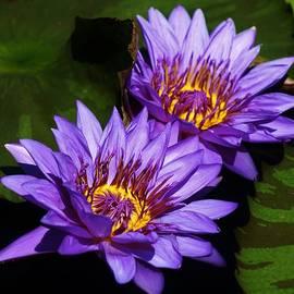 Bruce Bley - Delightful Violet Water Lilies