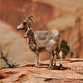 Robert Bales - Desert Bighorn Sheep