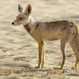 Arik Baltinester - desert Fox 02