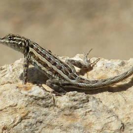 Carey Ann Hays - Desert Lizard