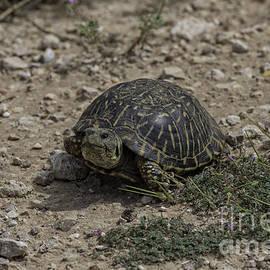 Tim Moore - Western Box Turtle