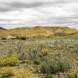 Bob Marquis  - Desert Wildflowers