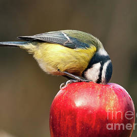 Simon Bratt Photography LRPS - Detailed blue tit with beak inside a red apple