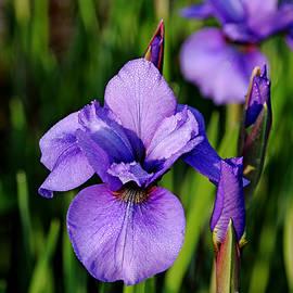 Debbie Oppermann - Dew Kissed Iris