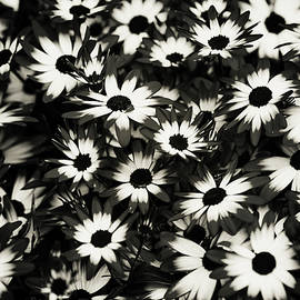 Jenny Rainbow - Dip Dyed Daisies. Black and White