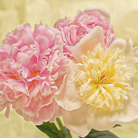 Daphne Sampson - Divine Pink And  White Peonies
