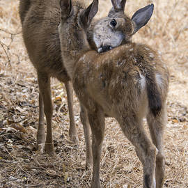 Bruce Frye - Doe and Fawn