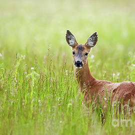 Catalin Petolea - Doe in a grass field