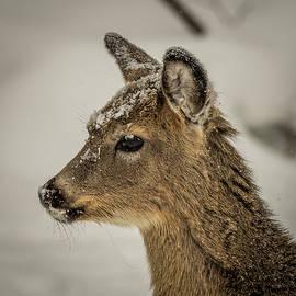 Paul Freidlund - Doe in the Snow