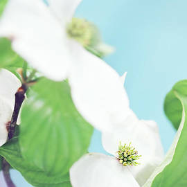 Stephanie Frey - Dogwood Blossom Against Blue